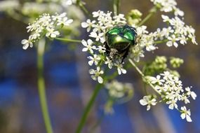 green beetle on a white flower