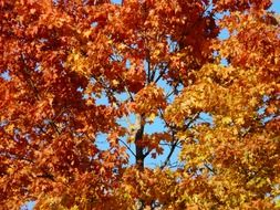 fall leaves of maple tree