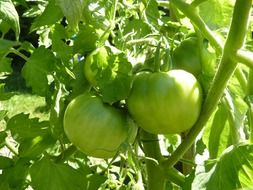 green tomatoes on a bush
