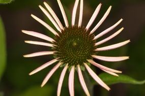 pink echinacea close up