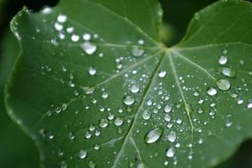 water drops on a wide leaf