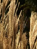 miscanthus in shimmering light