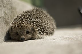 little cute spiny hedgehog