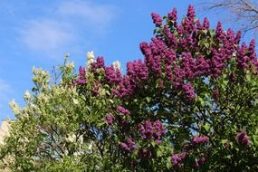 Colorful purple lilacs blossom