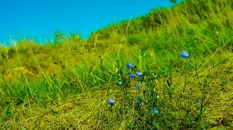 Beautiful blue flowers and a lot of the grass