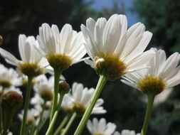 white daisies in the garden under the bright sun close up