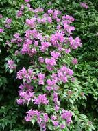 exotic shrub with pink flowers