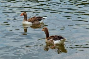 two brown-white gooses swim in a pond