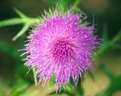 pink thistle flower on blurry background