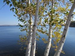 birch trees over the lake