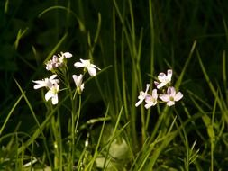 cuckoo flower among the green grass