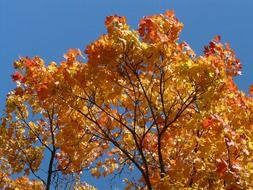 A lot of the beautiful and colorful leaves on the maple tree