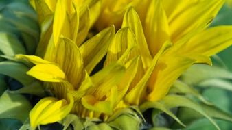 yellow sunflower petals
