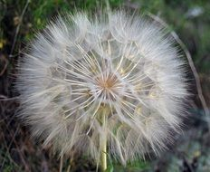 White fluffy dandelion closeup
