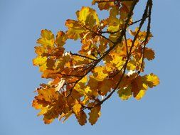 oak branch with leaves against the blue sky in autumn