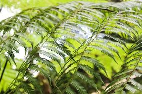 sword fern foliage