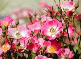 colorful wild roses close-up on blurred background