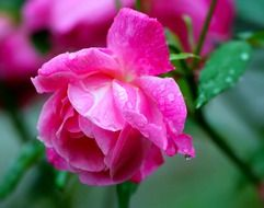 bright pink rose and dew drops on the petals