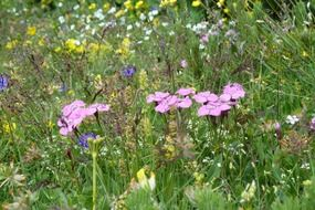 Colorful flowers on the mountain meadow