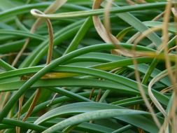 Grass of the green bamboo