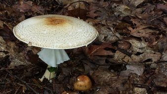 white mushroom among dry leaves