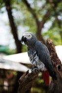 gray parrot in natural environment