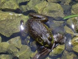 frog pond water amphibian green