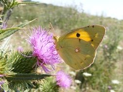 yellow butterfly on a purple flower of thistle