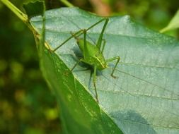 green grasshopper on a green leaf