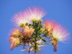 pink fluffy flowers Albizia