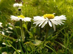 white daisies in the grass in the meadow