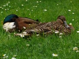 ducks resting in flower meadow