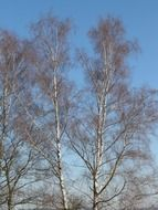Birch grove on blue sky background