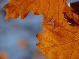 autumn oak leaves close-up