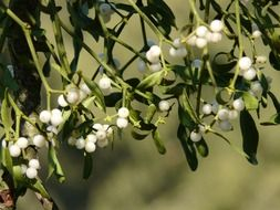 berries Mistletoe among green leaves