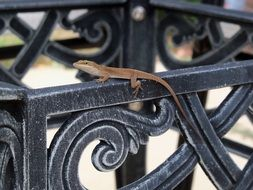 lizard on the iron fence