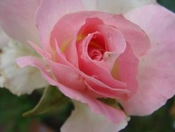 pale pink rose with lush petals