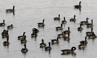 Canada geese in the water