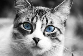 Black and white photo of a cat with blue eyes