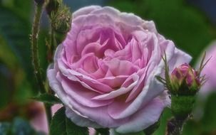 pink rose with buds close up