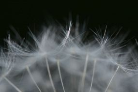 dandelion umbrellas close up