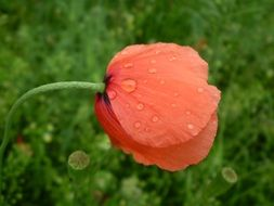 Red poppy with dew drops