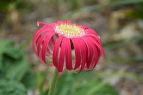 Red gerbera flower spring