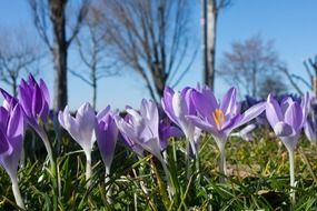 crocus flowers in sunny spring day