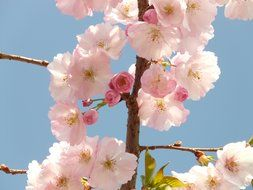 pink flowers of Japanese cherry closeup