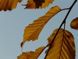 autumn leaves of hornbeam