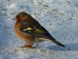 Chaffinch stands in the snow