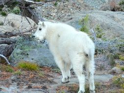 cute mountain goat wildlife portrait