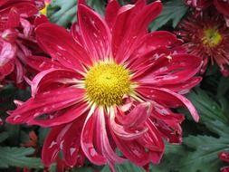 red chrysanthemums like daisies on a bush