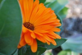 orange garden daisy